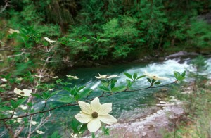 Pacific Dogwood on shores of Cowichan River, Vancouver Island, British Columbia, Canada.